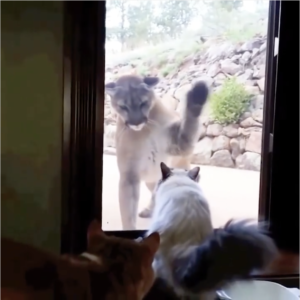 Interaction For the Ages: Mountain Lion & House Kitty